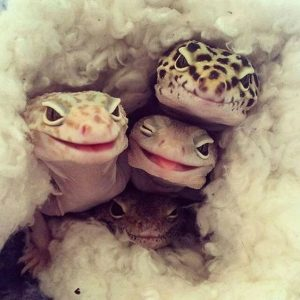 Three lizards cozy in a blanket